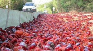 Christmas Island Kepiting Merah