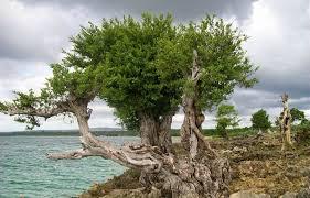 Pohon stigi